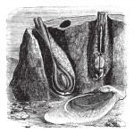 Common Piddock or Pholas dactylus vintage engraving — Stock Vector #6749998