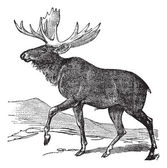 Moose or Eurasian Elk or Alces alces, vintage engraving — Stock Vector