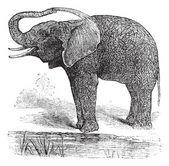 African Bush Elephant or Loxodonta africana, vintage engraving — Stock Vector