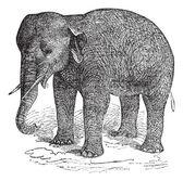 Asian Elephant or Asiatic elephant or Elephas maximus, vintage e — Stock Vector