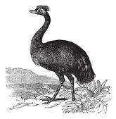 Emu or Dromaius novaehollandiae, vintage engraving — Stock Vector