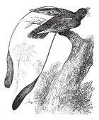 Standard-alato succiacapre o macrodipteryx longipennis, e d'epoca — Vettoriale Stock