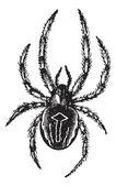 Common Orb-weaving Spider or Common Epeira or Araneus sp., vinta — Stock Vector