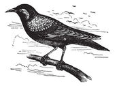 Common Starling or European Starling or Sturnus vulgaris, vintag — Stock Vector
