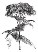 Joe – pye weed o eupatorium sp., vintage grabado — Vector de stock