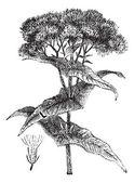 Eupatoire maculée ou eupatorium sp., vintage gravure — Vecteur