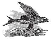 Flying Fish or Exocoetidae, vintage engraving — Stock Vector