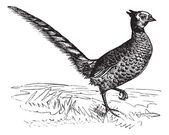 Common Pheasant or Phasianus colchicus, vintage engraving — Stockvector