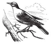 Orphean Warbler or Sylvia hortensis, vintage engraving — Stock Vector