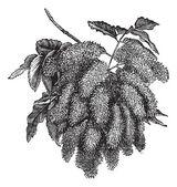 Fraxinus ornus or Flowering Ash vintage engraving — Stock Vector