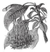 Fuchsia corymbiflora vintage gravyr — Stockvektor
