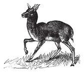 Dorcas Gazelle or Gazella dorcas vintage engraving — Stock Vector