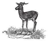 Soemmerring's Gazelle or Nanger soemmerringii vintage engraving — Stock Vector