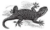 Sinai fan fingrar gecko eller ptyodactylus guttatus vintage engrav — Stockvektor