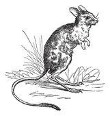 小埃及跳鼠或 jaculus jaculus 复古雕刻 — 图库矢量图片