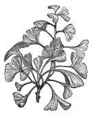 Ginkgo biloba of salisburia adiantifolia vintage gravure — Stockvector