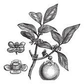 Gamboge or Hebradendron cambogioides vintage engraving — Stock Vector