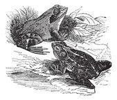 1. Wood frog (Rana sylvatica) 2. Spring frog (Rana fontinalis) — Vecteur