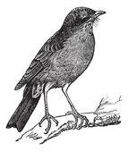 American Robin (Turdus migratorius) vintage engraving — Stock Vector