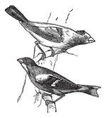 Evening grosbeak (Hesperiphona vespertina) or Finch 1.Male 2. Fe — Stock Vector