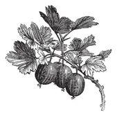 Gooseberry (Ribes grossularia) vintage engraving — Stock Vector