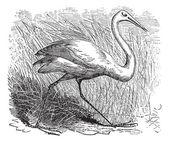 Whooping cranes (Grus Americana) vintage engraving — Stock Vector