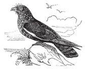 Guacharo Caripe (Steatornis caripensis) or Oilbird vintage engra — Stock Vector