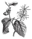 Witch hazel (Hamamelis virginiana) or winterbloom vintage engrav — Stock Vector