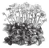 Beautiful Hepatica Triloba vintage engraving — Stock Vector