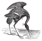 Great Blue Heron (Ardea herodias) vintage engraving — Stock Vector