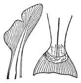 1.Heterocercal (requin) 2. Homocercal (saumon) vintage engraving — Stock Vector