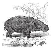 Flodhäst eller hippopotamus amphibius vintage gravyr — Stockvektor