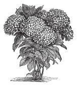 Bigleaf Hydrangea or Hydrangea macrophylla vintage engraving — Stock Vector