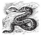 Natal rock python or Python sebae natalensis vintage engraving — Stock Vector