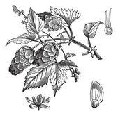 Společné hop nebo humulus lupulus vinobraní gravírování — Stock vektor