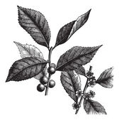 American Winterberry or Ilex verticillata vintage engraving — Vector de stock