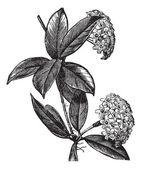 Hoya carnosa or wax plant vintage engraving — Stock Vector
