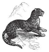 Jaguar or Panthera onca vintage engraving — Stock Vector
