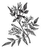 Común jazmín o jasminum officinale vintage grabado — Vector de stock