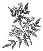 Comum jasmim ou jasminum officinale vintage gravura — Vetorial Stock