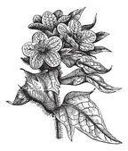 Henbane or Hyoscyamus niger vintage engraving — Stock Vector