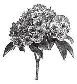 Kalmia latifolia or Mountain-laurel vintage engraving — Stock Vector