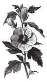 Garden hibiscus (Hibiscus syriacus) or Shrub Althea vintage engr — Stock Vector