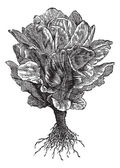 Romaine or Cos lettuce (Lactuca sativa) vintage engraving — Stock Vector