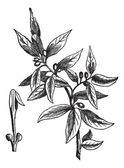 Bay leaves (Laurus nobilis) or sweet bay, vintage engraving — Stock Vector
