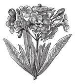 Common oleander (Nerium oleander), vintage engraving — Stock Vector