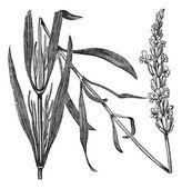 常见熏衣草或薰衣草,复古雕刻 — 图库矢量图片