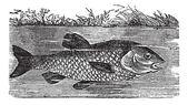 Leuciscus cephalus ou chevesne, vintage gravure — Vecteur