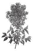 Syringa vulgaris (lilac or common lilac) vintage engraving — Stock Vector