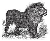 Vintage grabado de león africano — Vector de stock